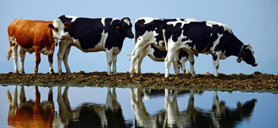 a klímaváltozás káros_úszó tehenészet