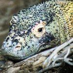 kihalás veszélye fenyegeti a komodói sárkányt is