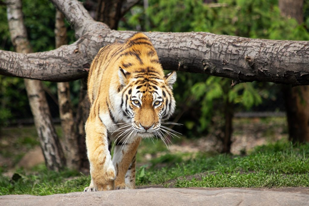 tigris támadás előtt